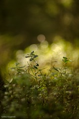 The glimmering green (- Man from the North -) Tags: plant green nature forest finland outdoors moss nikon dof bokeh naturallight fresh explore zenit westcoast softlight naturephotography glimmering ostrobothnia explored inexplore nikond7000 zenit40285mmf15
