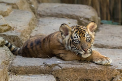 Nelson (ToddLahman) Tags: baby canon thomas tiger tigers sumatrantiger joanne safaripark escondido canon100400 tigercub babytiger tigertrail sandiegozoosafaripark babysumatrantiger canon7dmkii