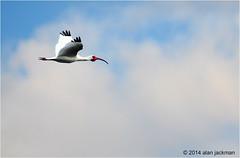 White Ibis, Birds of the Florida Everglades (alan jackman) Tags: bird d50 nikon florida ibis nikkor whiteibis 55300mm jackmanonjazz alanjackman