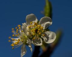 Plum tree blossom (Unni Henning (partly offline)) Tags: flowers england macro tree closeup fruit garden spring warwickshire plumtree