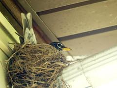P4272061.jpg (MizGingerSnaps) Tags: usa birds virginia spring robins april williamsburg 2016 robinsnest intheyard