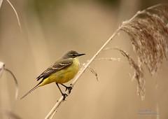 Bergeronnette Printanire (David Michel.....Merci pour vos visites) Tags: jaune oiseaux lacduder champagneardenne ornithologie bergeronnetteprintanire roselire canon6d tamron150600