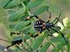Thasus gigas (Klug, 1835) (carlos mancilla) Tags: insectos chinches truebugs ninfas nymphs olympussp570uz tantarria thasusgigasklug1835 thasusgigas chinchegigantexamuis chinchedemezquite coreidae coreinae