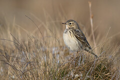 Meadow pipit (twodeeswildlife) Tags: grass canon spring heather plans tussock hailstones pipit meadowpipit anthuspratensis explored corhedyddywaun