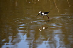 Black-winged Stilt (Luke6876) Tags: bird animal wildlife stilt sydneyolympicpark australianwildlife blackwingedstilt
