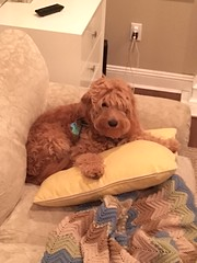 Lucy's Indi with his pillow!