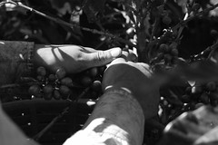 Heredia, Costa Rica. (Elas Esquivel) Tags: blackandwhite coffee workers hands costarica blackandwhitephotography coffeebeans heredia coffeeplantation barva hardworkers coffeeplantations sanjosedelamontaa