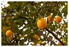 Oranges (mhocter) Tags: orange tree canon eos canoneos ef canonef ef247028l canonef247028l canoneos5dmarkii 5dmarkii 5d2 canon5dmarkii