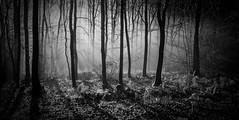 Morgens im Märchenwald.....Morning in the fairytale forest( 2 ) (thorvonassgard) Tags: morgen morning wald wood nebel fog sonne sun strahlen rays wärme heat schön nice erwartung expectations schwarzweis blackwhite sw bw germany saarland saarhölzbach world100f