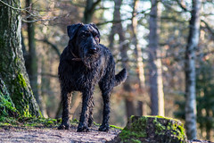 'Senna' looking for something (Diverse-Media.nl) Tags: trees dog pet pets tree green dogs netherlands grass animal animals forest bomen groen nederland schnauzer hond boom gras breda bos doggie senna hondje dorst dmani hondjes