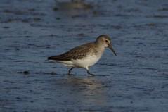 IMGP5016 Dunlin, Titchwell Marsh, January 2016 (bobchappell55) Tags: wild bird nature reserve marsh dunlin titchwell rspb wader