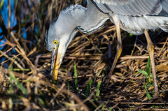 Foraging (dangerousdavecarper) Tags: uk bird heron water reeds grey wildlife young juvenile survival foraging