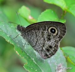 Common Fivering (Ypthima baldus) (RamaWarrier) Tags: coimbatore mettupalayam kallar