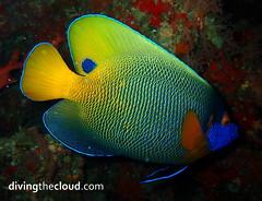 Blueface angelfish - Pez ángel de cara azul (divingthecloud) Tags: sea fish pez agua diving maldives angelfish buceo maldivas fotosub bajoelagua bluefaceangelfish pezangel pezangelcaraazul