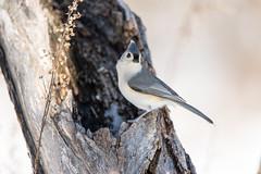 quabbinwinter2016-476 (gtxjimmy) Tags: winter bird mouse nikon tit massachusetts newengland reservoir tufted quabbin tamron songbird quabbinreservoir d600 watersupply nikond600 150600mm