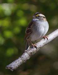 White-throated Sparrow (AllHarts) Tags: whitethroatedsparrow memphistn backyardbirds thesunshinegroup