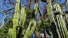 CACTACEAE Pachycereus pecten-aboriginum (cardn) Stenocereus martinezii (pitaya) (egamezduarte) Tags: cactaceae pitaya cardn stenocereus pachycereus martinezii pectenaboriginum