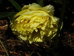 Tree peony (Lesley A Butler) Tags: flowers summer garden australia victoria tolmie