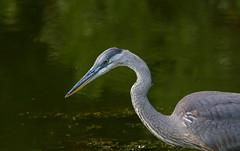 Great-Blue Heron (Accipiter22) Tags: greatblueheron