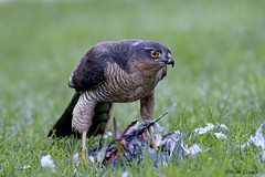 Sparrowhawk (kevinclarke1969) Tags: cp rufford nottinghamshire sparrowhawk