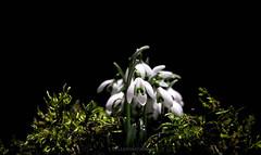 the first heralds of spring (Fay2603) Tags: light white black flower green nature blackbackground moss spring seasons blossom snowdrops lightning