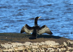 IMG_2437-1 (monika.carrie) Tags: scotland wildlife aberdeen shag monikacarrie