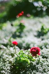 Ranunculus    (Jennifer ) Tags: film superia fujifilm 100  reala  nikonfm3a      carlzeiss50mm14   anunculus