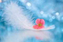 Innocent (Elizabeth_211) Tags: blue stilllife white flower macro bokeh feather