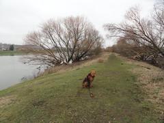 2016-0103 (schuttermajoor) Tags: nederland hond che maas eijsden 2016 airedaleterrier ommetjenederland