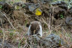 DSC_2432 m (Islm) Tags: wild animal mexico tepoztlan morelos coati tepozteco