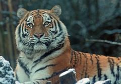 amurtiger amersfoort JN6A2667 (j.a.kok) Tags: tiger tijger amersfoort amurtiger amoertijger pantehratigrisaltaica