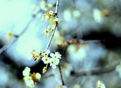 A Winter Pastel (ursulamller900) Tags: winter vintage bokeh pastel plumblossoms pentacon28100