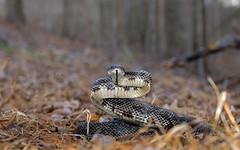 Rat Snake in defensive pose (cre8foru2009) Tags: georgia reptile snake ratsnake herping pantherophisalleghaniensis