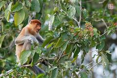 Proboscis Monkey (Rhapsody-In-Blue) Tags: nature monkey rainforest wildlife malaysia borneo sabah kinabatangan proboscis malaisie proboscismonkey longnez nasique borno nasalislarvatus kinabatanganriver sungaikinabatangan bekantan longnosedmonkey