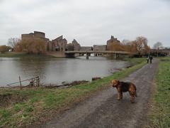 2016-0110 (schuttermajoor) Tags: maastricht nederland hond che maas 2016 airedaleterrier ommetjenederland