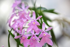 -Epidendrum centradenium (nobuflickr) Tags: orchid flower nature japan botanical kyoto    the garden  awesomeblossoms   epidendrumcentradenium 20160130dsc09721