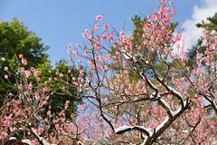 紅梅 (nobuflickr) Tags: flower nature japan kyoto 日本 花 japaneseapricot ウメ prunusmume thekyotobotanicalgarden 京都府立植物園 バラ科サクラ属 20160301dsc02522