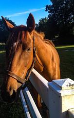 ReleaseMe (Sonia'sGallery) Tags: horse fence florida thoroughbred horsecountry ocalafl releaseme