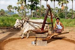 Molino de bueyes (Andrs Guerrero) Tags: people man mill animal persona asia bullock burma country ox molino campo myanmar hombre bagan buey oxes airelibre bueyes birmania sudesteasitico