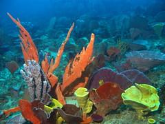 Sponge Garden (richard ling) Tags: underwater au australia scuba diving nsw sponge sydneyharbour porifera demospongiae poecilosclerida dictyoceratida oldmanshatsydneyharbournsw microcionidae echinoclathria spongiidae phyllospongia