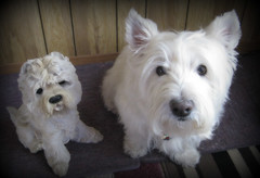 "2/12B ~ ""Riley & Look-a-Like"" (ellenc995) Tags: riley westie westhighlandwhiteterrier 12monthsfordogs statue thesunshinegroup rubyphotographer coth pet100 supershot sunrays5 coth5 challengeclub alittlebeauty akob 100commentgroup citrit pet500 pet1500 pet1000"