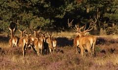 Red deer at Veluwe (jopieborst) Tags: veluwe edelherten sigma120400 canon70d