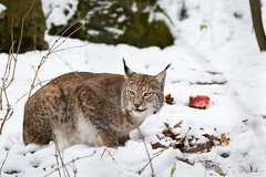 Lynx in snow (Cloudtail the Snow Leopard) Tags: luchs winter schnee snow zoo nürnberg nuremberg tiergarten tier animal mammal säugetier lynx feline katze cat female cloudtailthesnowleopard