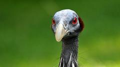 Professor Dr. Guineafowl - explore 28. Feb. 2016 (Nephentes Phinena ☮) Tags: nikond300s vogelparkwalsrode vulturineguineafowl geierperlhuhn bird birds animal