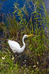 IMG_9900 ENP (JRCmoreno) Tags: winter water grass florida swamp everglades evergladesnationalpark egret sabana