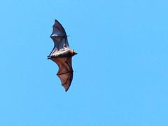More flying foxes/Fruit Bats (PsJeremy) Tags: mammal flying bat australia yarra flyingfox