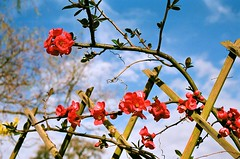 Japanese Quince against Blue Sky (2) (Matthew Huntbach) Tags: red bluesky japanesequince chaenomeles