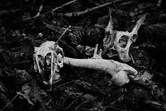 bones telling a story (CHCaptures) Tags: white black art monochrome blackwhite outdoor ground bones schwarz boden knochen weis waldboden schwarzweis sal75300 sonyslta58