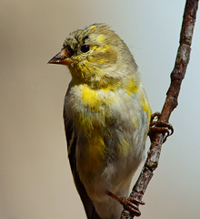 Preview (Ronald Day) Tags: bird animal yellow colorado outdoor wildlife finches preview americangoldfinch a77 songbirds molting barrlakestatepark tristis spinus perchingbirds sonyalphaslta77v