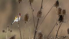 12-03-2016_D7200_13 (Patrick Bertier) Tags: nature patrick oiseaux eijsden chardonneret bertier patrickbertier